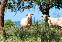 Schafe auf Mallorca / Hier gibts Schafe zu sehen, die wir auf den Fincas fotografiert haben.