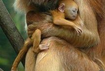 Πιθηκοι