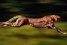 Cheetah stuff! / by Cleta Colson