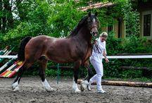 Vazan stud-welsh pony and cob