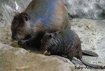 Baby beaver / Baby beaver pictures