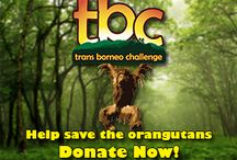 Orangutan News