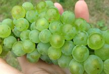 Harvest 2015 / This vintage looks terrific for Langi, with a new winemakers on board we are gearing up for this 2015 vintage! #v15 #vintage2015 #wine #grampians #grapes #chardonnay #shiraz #cabernet #vines #vineyard #harvest #vintage #riesling