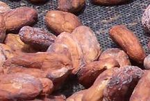 Bean to Bar / Artisan chocolate making starting with unroasted cocoa beans.