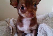 Chihuahuas, chocolate, brown or black and tan 2.