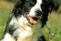 Border collies / by Vicki Whitley