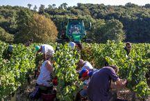Vendanges au vignoble / Grape harvest / La Cave de Lugny produit 20 appellations différentes de vins de Bourgogne. Elle a mis en place un réseau de maturité de 75 parcelles de référence représentatives des différentes appellations afin de cerner l'évolution de la maturité et déterminer les dates de vendanges optimales.