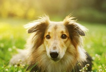 breed love ♥ collie