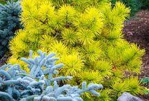 Plant's s (Conifers)