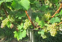 Harvest 2013 in Château La Tour Carnet / Grand Cru Classé - Haut-Médoc.  First harvest took place in 1409 under the reign of Charles VI.