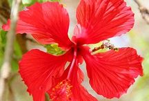 Barbados Flora: Tropical Splendor! / As a tropical Caribbean island, Barbados is blessed with an abundance of tropical flowers. Here are some of our favourites.