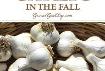 plant garlic in the new fall