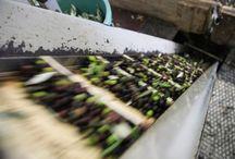 Frantoi Aperti 2013 / l'#Umbria nel periodo della raccolta delle Olive