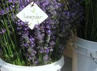 Lavender Fields Forever  / by Carolinka