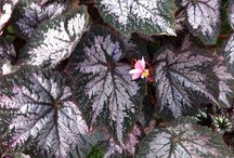 Begonias / Some examples of the Begonias we grow and sell.