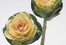 ornamental cabbage.m