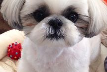 Shih Tzu's / Lots of cute Shih Tzu's.