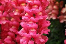 Snapdragons / by Linda  Bell