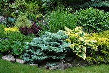 evergreen shrub plants