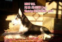 Jual Siberian Husky dgn Harga Bersahabat