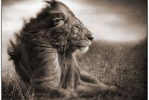 Lions <3 / by Melanie Gottshalk