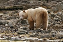 Wildlife / Bears. Wolves, Eagles, Deer, just a few of the sights to see on an adventure vacation to #ShearwaterResort