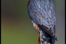 Falcons etc