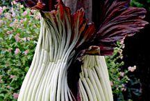 """ΦΥΤΑ ΜΕ ΔΥΣΑΡΕΣΤΗ ΜΥΡΩΔΙΑ 1) ΑΜΟΡΦΟΦΑΛΟΣ 2) RAFFLESIA ARNOLDI 3) BRACHYSTELMA- BARDERAC κ.λ.π / O ΑΜΟΡΦΟΦΑΛΟΣ  είναι ένα φυτό από τις πεδινές περιοχές των τροπικών και εύκρατων χωρών. Εξαπλώθηκε από την Αφρική δυτικά προς τα ανατολικά προς τα νησιά του Ειρηνικού Ωκεανού .  Η RAFFLESIA ARNOLDII είναι μέλος του γένους Rafflesia .  Είναι γνωστή ως το μεγαλύτερο λουλούδι στη γη.  Έχει μια πολύ ισχυρή και φρικτή μυρωδιά της αποσύνθεσης της σάρκας, όπως και ο Αμορφόφαλος, γι΄αυτό πήραν και και τα δύο  το παρατσούκλι """" πτώμα λουλούδι"""""""