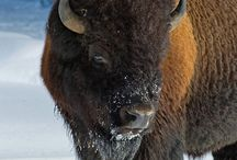 Myson Bison / by Alli Hall