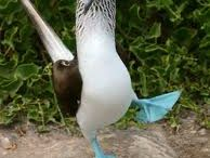 Blue-Footed Booby Love / by Paige Coram