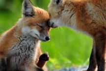 Foxes / by Mary Kissinger