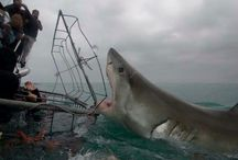 Greath white shark