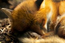 fox & woodland theme