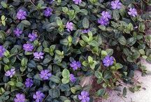 Plants_ground covers