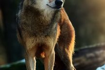 Wolf References / Wolves Views