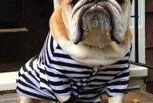 English Bulldog / English Bulldogs are amazing!