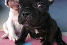 French Bulldogs xx