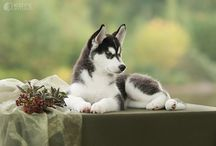 Husky Love / by Linda Angle
