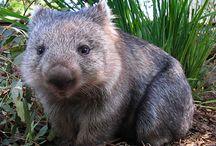 Wombat love ‹333