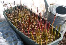 Növények szaporítása dugványozással