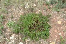 Organic Winter Savory