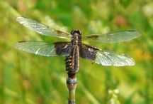 Dragonflies / Dragonflies that I've taken pictures of around Ludington Park Escanaba  / by Bud Lemire