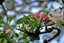 Sagarrondoen prozesua/Proceso Manzanos / Sagarrondoaren momentu ezberdinak, loretik sagarrera.  Diferentes momentos del manzano, de la flor a la manzana.