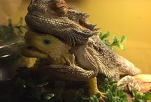 Bearded Dragon (Skjegg Agam)