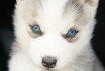 chien de traineau et loups