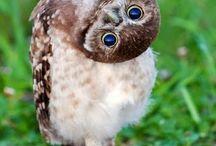 Cutie Tootie Owls