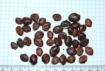 Seeds of the Acanthaceae