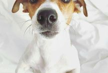 Jack Rassel Terrier