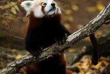 Red as a Panda :)