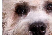 Terrier Dandies